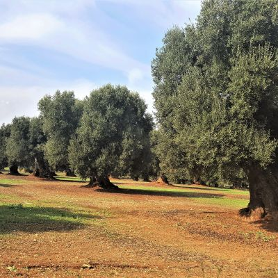 The olive Trees of Puglia, the Green Patriarchs